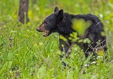 A Black Bear is feeding on green grass. Cades Cove, a Black Bear walking through green grass stock image