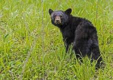 A yearling Black Bear looks at the camera. Cades Cove, a Black Bear walking through green grass royalty free stock photography
