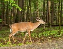 cades gór jeleni creek park narodowy wędzone świetnie Obrazy Stock