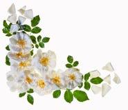 Cadre blanc de roses, d'isolement Photo libre de droits