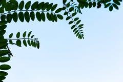 Cadre d'acacia Image libre de droits