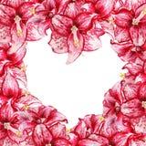 Cadre d'amaryllis de coeur Image libre de droits
