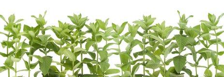 Cadre d'une menthe poivrée de jardin Photos stock