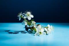 Cadre de fleurs de ressort sur le fond bleu Fleur jaune de cerise de cornaline photographie stock libre de droits
