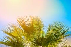 Cadre de grandes feuilles en épi rondes de palmier sur le fond clair de ciel bleu Lumière couleur pêche rose d'or de Sun Vacances Photos libres de droits