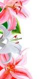 Cadre de Lily Photographie stock libre de droits