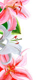 Cadre de Lily illustration libre de droits