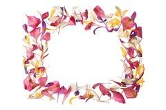 Cadre de pétales de fleur rouge, rose, jaune, blanche sur la fin d'isolement par fond blanc vers le haut de l'endroit des textes, photographie stock
