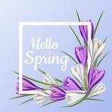 Cadre de ressort avec la fleur pourpre et blanche de crocus Image libre de droits