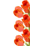Cadre de tulipe photos stock