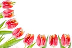 Cadre de tulipes photos libres de droits
