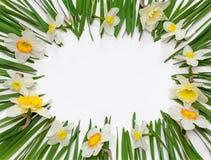 Cadre floral de ressort des fleurs et des feuilles vertes des narcisses sur le fond blanc Image libre de droits