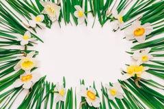 Cadre floral de ressort des fleurs et des feuilles vertes des narcisses sur le fond blanc avec l'espace pour le texte Image libre de droits