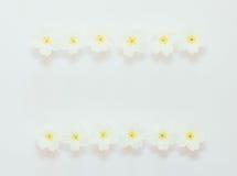 Cadre floral des fleurs de la primevère sur un fond blanc Photo stock
