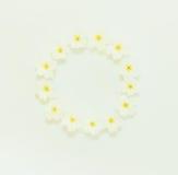 Cadre floral rond des fleurs de la primevère sur un fond blanc Image stock