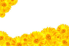 Cadre jaune de Gerbera Photo stock