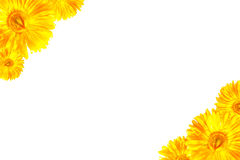 Cadre jaune de Gerbera Image stock