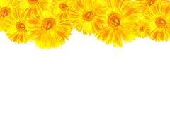 Cadre jaune de Gerbera photographie stock