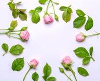 Cadre rond des fleurs sensibles Roses roses sur le fond blanc Vue supérieure, conception plate Photographie stock
