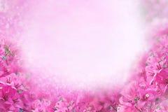 Cadre rose de bouganvillée de fleur sur le concept rose doux de carte de valentine et de mariage de fond Images stock