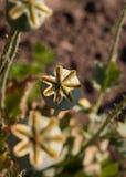 Cadres de clou de girofle dans le jardin Image stock