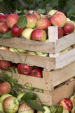 Cadres en bois complètement de pommes mûres Image libre de droits