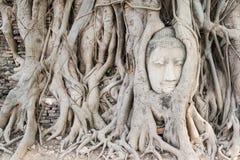 Caduta antica della testa della statua di Buddha sulle radici Fotografie Stock