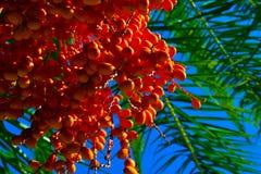 Caduta arancio della frutta giù in mazzi palma Fotografia Stock