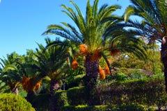 Caduta arancio della frutta giù in mazzi sulle palme Fotografia Stock