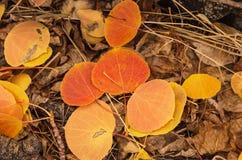 Caduta Aspen Leaves Immagini Stock