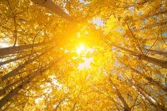 Caduta Aspen Trees Fotografie Stock Libere da Diritti