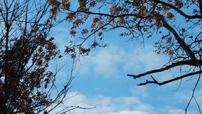 Caduta Autumn Red Oak Leaves, cieli blu sul lago WV top piana video d archivio