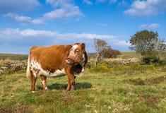 Caduta bianca del Brown della mucca Fotografia Stock Libera da Diritti