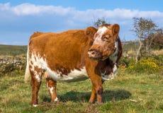Caduta bianca del Brown della mucca Fotografia Stock