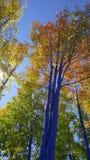 Caduta blu Aspen Fotografie Stock