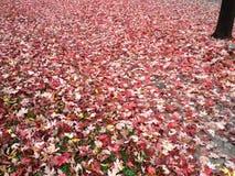 Caduta - coperta in foglie rosse Immagine Stock