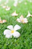 Caduta dei fiori di plumeria Fotografia Stock