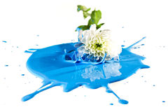Caduta del fiore bianco in pittura blu Fotografia Stock