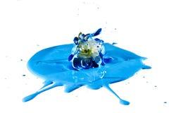 Caduta del fiore bianco in pittura blu Immagini Stock