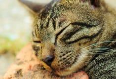 Caduta del gatto addormentata Immagine Stock