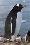 Caduta del pinguino di Gentoo dopo avere mudato da non ricrescere Fotografia Stock