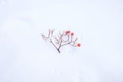 Caduta del ramoscello della sorba su neve Fotografia Stock Libera da Diritti