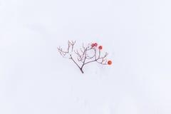 Caduta del ramoscello della sorba su neve Fotografie Stock Libere da Diritti
