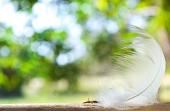 Caduta della piuma bianca su legname immagine stock libera da diritti