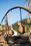 Caduta della zucca a fiaschetta con bambù Fotografie Stock Libere da Diritti