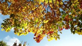 Caduta delle foglie da un acero luminoso di autunno stock footage