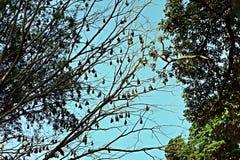 Caduta delle volpi volanti su un albero Immagini Stock Libere da Diritti