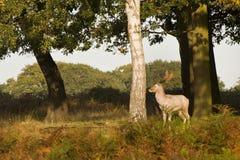 Caduta di autunno di stagione di Rutting dei cervi rossi Immagine Stock Libera da Diritti