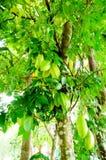Caduta di Starfruits sull'albero Immagini Stock