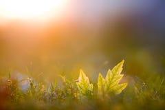 Caduta dorata dell'erba della foglia di ora Fotografia Stock Libera da Diritti